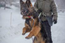 Первые шаги в защите: немецкая овчарка Грета, 10 мес