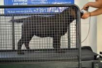 Лабрадор Gudzon Pride Chelsea (4 мес.) осваивает беговую дорожку )))