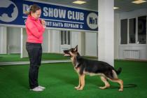 Немецкая овчарка ЗАЙКА учится свободной стойке.