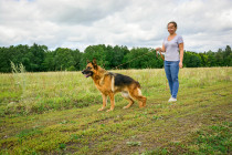 Хендлингом можно заниматься и в полях, если дело в руках профессионала. Немецкая овчарка ПОЛИНА, 9 лет.