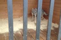 Гостиница для собак. Чехословацкий влчак Рикки.
