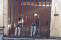 Гостиница для собак. Наши постояльцы хаски Ханс и Харт с комфортром расположились в вольере.