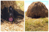 Жарким июльским утром всегда приятно отдохнуть в тени))) Кане корсо Гектор (5 мес.) на утренней прогулке в полях. Передержка с дрессировкой (10 дней).