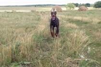 """Отработка команды """"ко мне!"""". Доберман Эвр, 6 месяцев проходит курс начального послушания для щенков (передержка с дрессировкой - 10 дней)."""