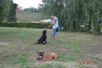 Лабрадор Мэллой очень любит играть с другими собаками, но на занятиях все его внимание приковано к любимому хозяину.