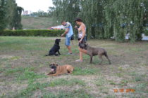 В быту большинство собак 'забывают' все команды или совсем не слышат своих хозяев, если рядом есть другие собаки.  Групповые занятия по послушанию - прекрасная возможность исправить это.
