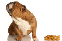 Моя собака - малоежка, или как научить есть привереду