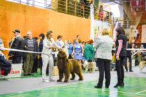Выставка собак в Магнитогорске. Ньюфаундленд ФАННИ ШОКОЛАДНАЯ РАДОСТЬ.