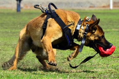 Дрессировка собак в Уфе. Нормативная дрессировка и спорт с собакой
